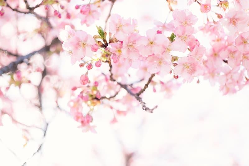Sasafras – medycyna Miłości, królowa Łagodności, potężna Roślina Nauczyciel