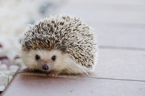 Słaby, chory jeż na drodze lub inne dzikie zwierzę (wiewiórka, ptak, nietoperz, foka itd.) – co robić